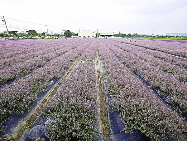 桃園,楊梅,仙草花,紫色花海-10.jpg