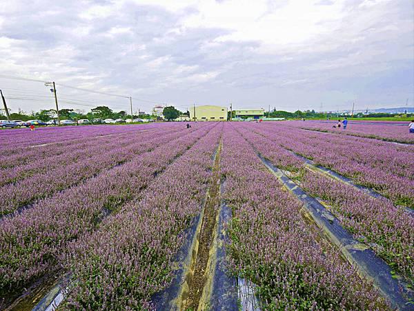 桃園,楊梅,仙草花,紫色花海-100