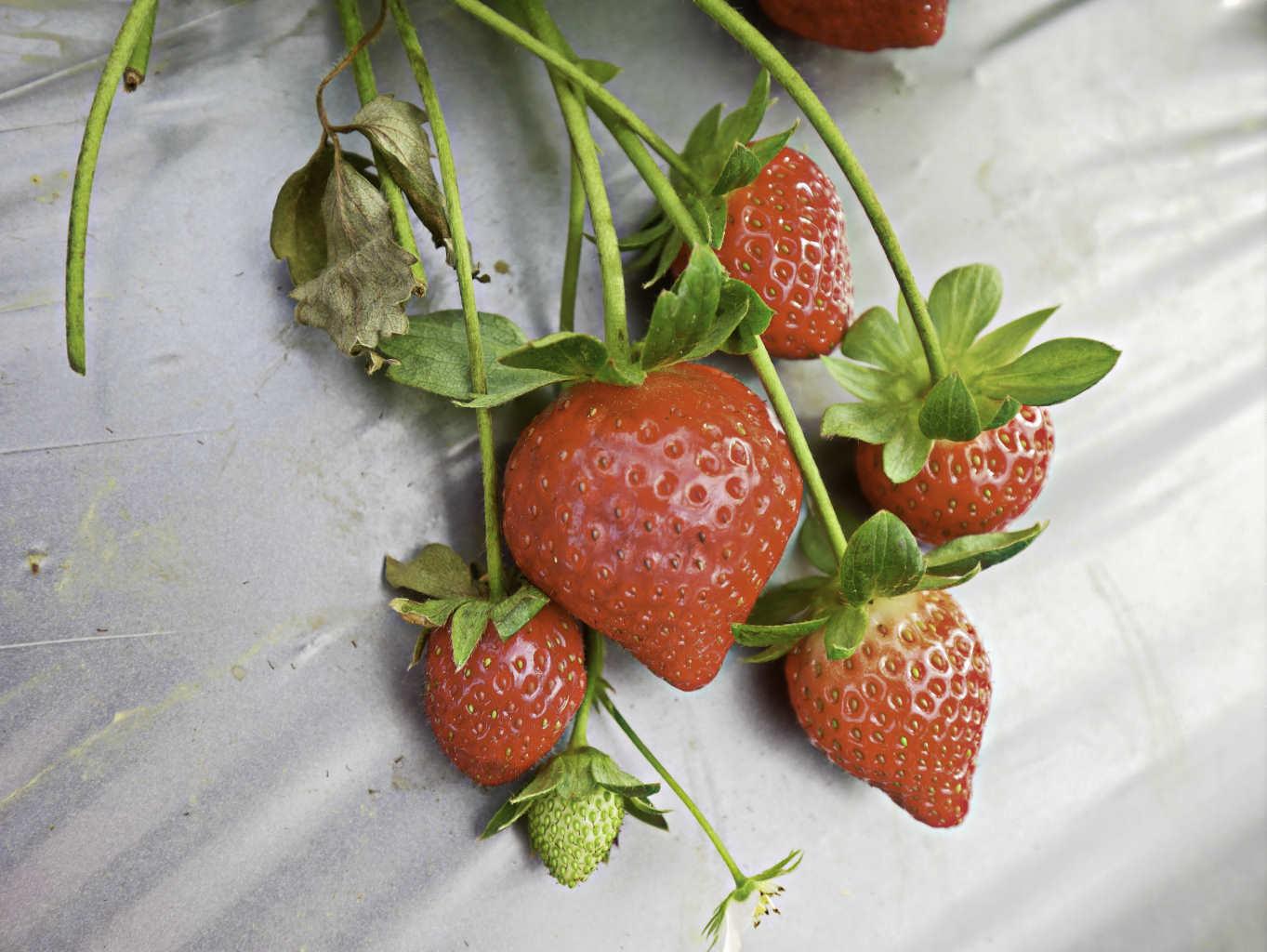 大湖草莓,牛奶草莓-3.jpg