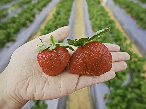 大湖草莓,牛奶草莓-6.jpg