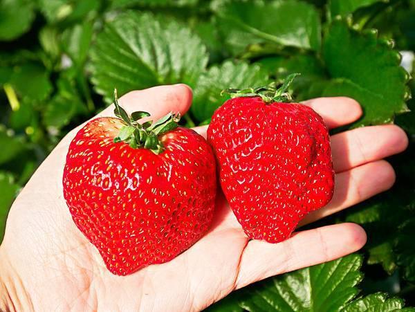 東京,採草莓,富士山,河口湖,纜車-8.jpg