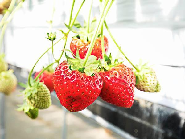 東京,採草莓,富士山,河口湖,纜車-13.jpg