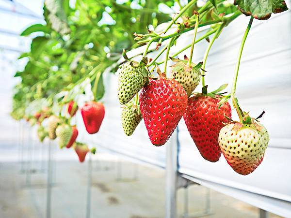 東京,採草莓,富士山,河口湖,纜車-15.jpg