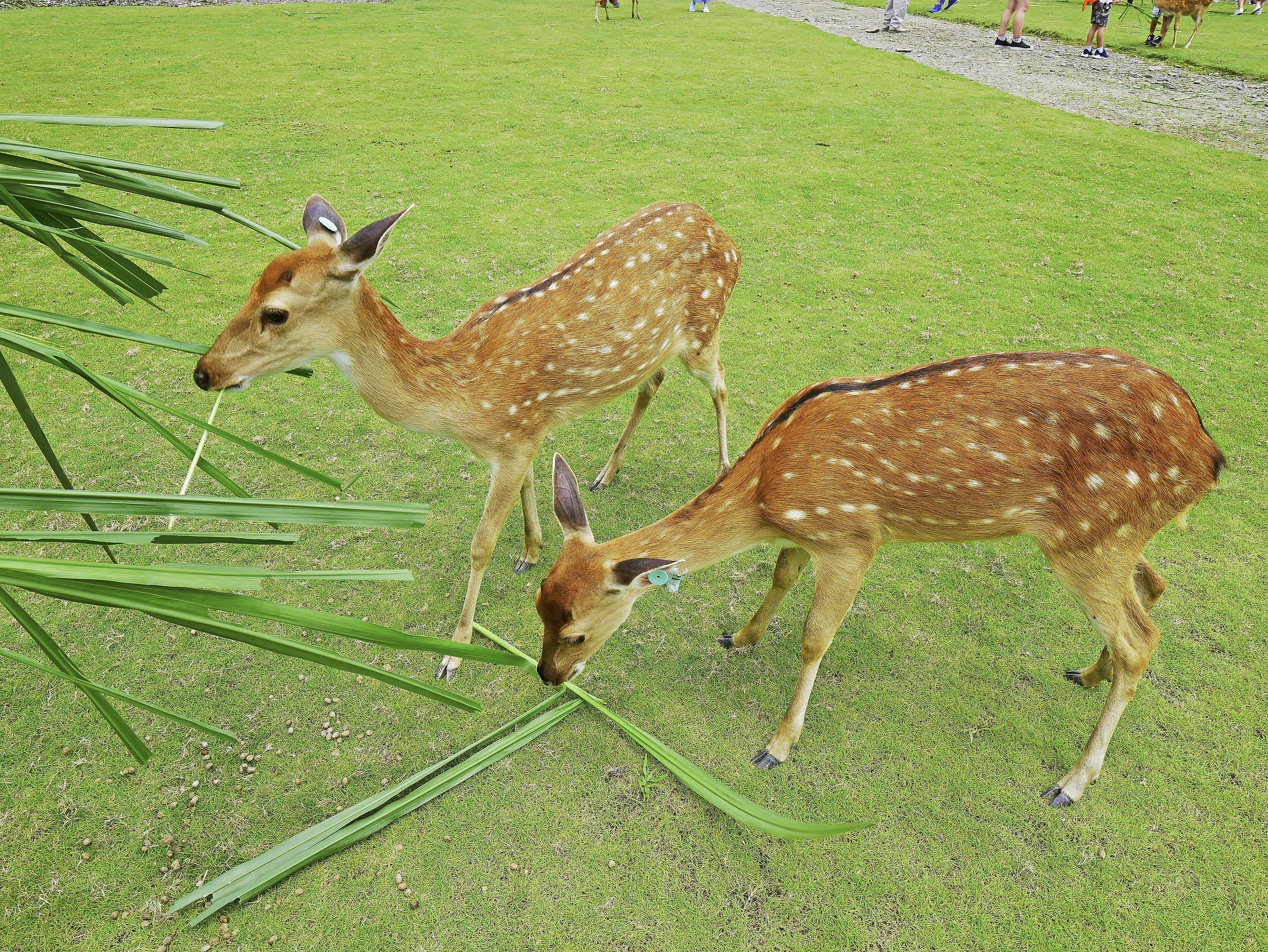 斑比山丘,宜蘭梅花鹿-34.jpg