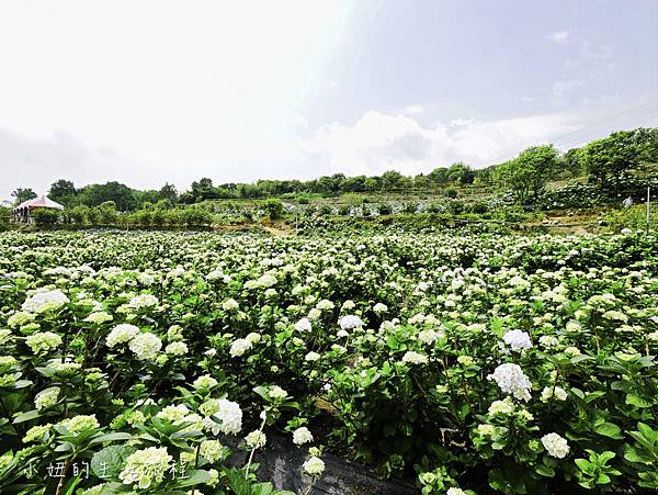 高家繡球花第三園區-9.jpg