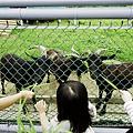 三重餵羊-11.jpg