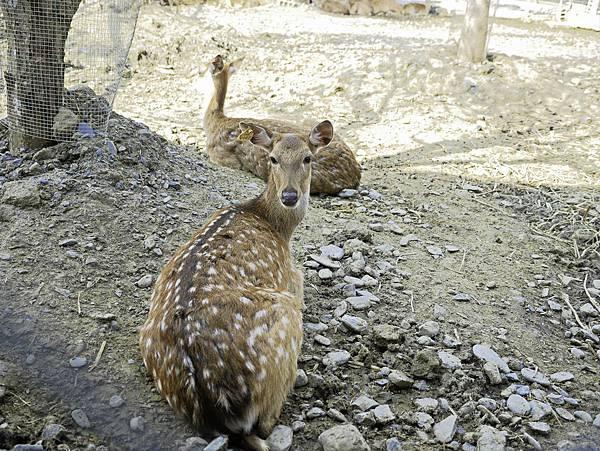 鹿境,墾丁餵鹿,梅花鹿-8.jpg