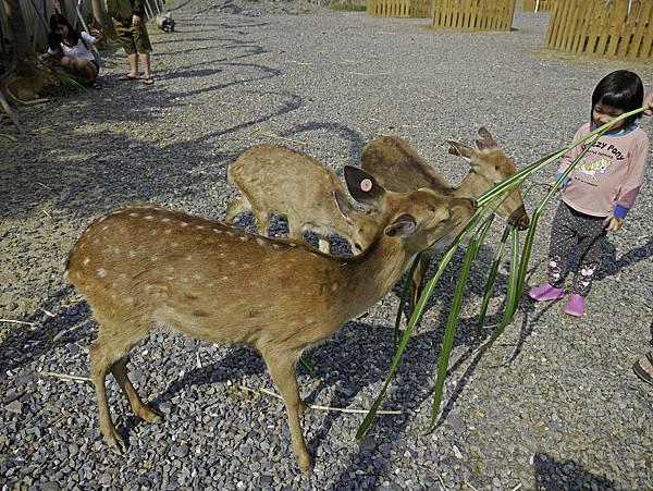 鹿境,墾丁餵鹿,梅花鹿-15.jpg