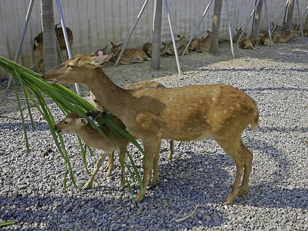 鹿境,墾丁餵鹿,梅花鹿-14.jpg
