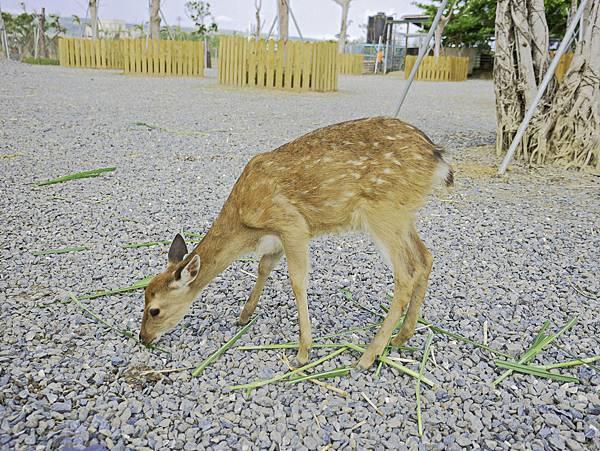 鹿境,墾丁餵鹿,梅花鹿-17.jpg