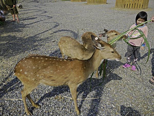 鹿境,墾丁餵鹿,梅花鹿-16.jpg