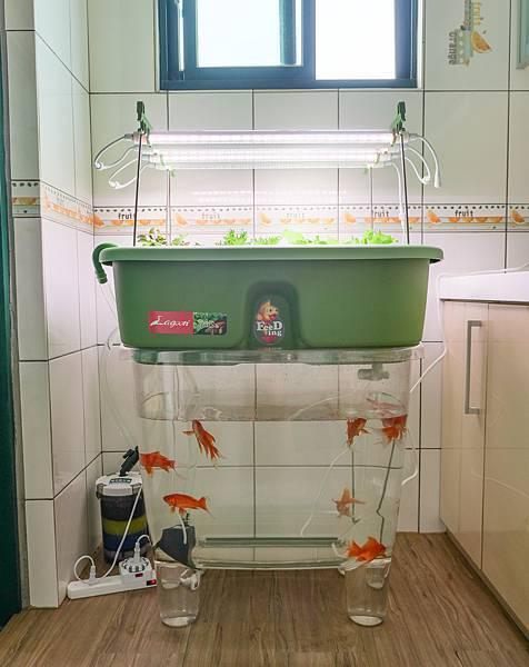 魚菜共生-11.jpg