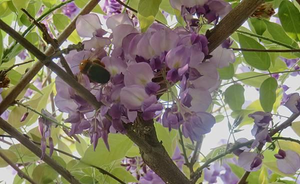 大湖公園紫藤花