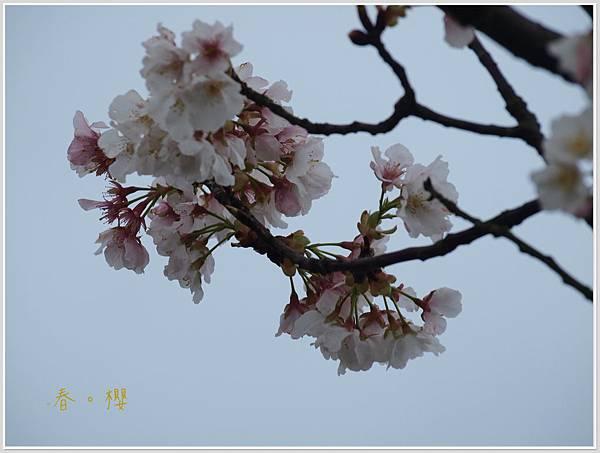 春櫻-8jpg