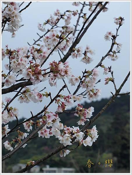 春櫻-10