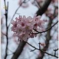 春櫻-1.jpg