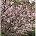 春櫻.jpg