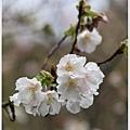 春櫻-2.jpg
