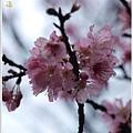 春櫻-5.jpg