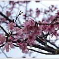 春櫻-3.jpg