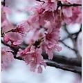 春櫻-4.jpg