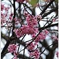 春櫻-6.jpg
