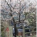 春櫻-7jpg.jpg