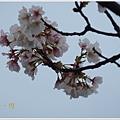 春櫻-8jpg.jpg