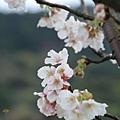 春櫻-9.jpg