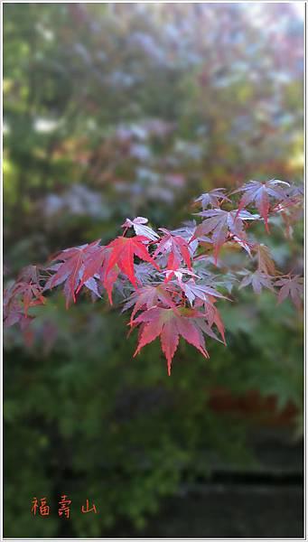福壽山楓紅-3