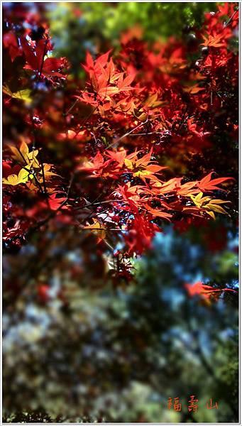 福壽山楓紅-4