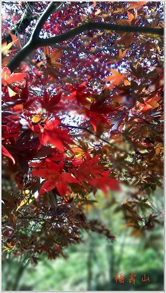 福壽山楓紅-5