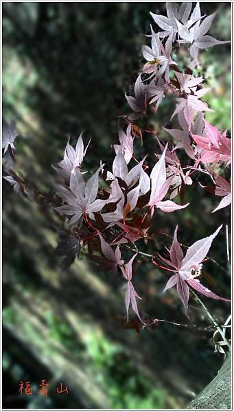 福壽山楓紅-6