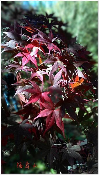 福壽山楓紅-7