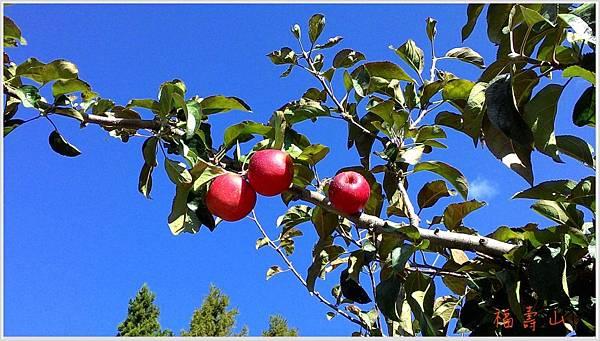福壽山蘋果樹-1