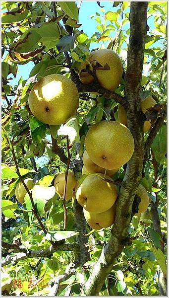 福壽山梨子樹