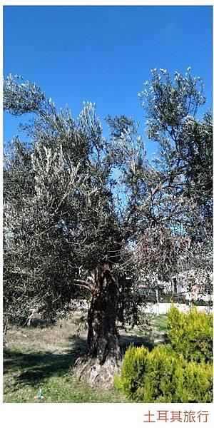 土耳其-1橄欖樹.jpg