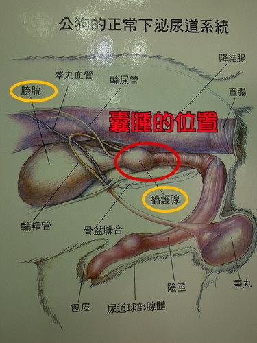 泌尿系統圖.jpg