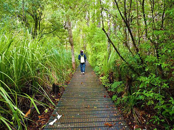 貝殼杉森林