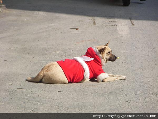 穿著聖誕裝的狗