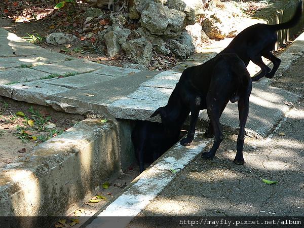 兩隻狗在欺負一隻小黑狗