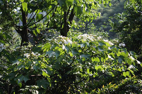2010初遇油桐花-2.jpg