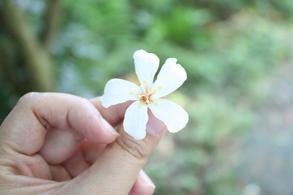 2010初遇油桐花-5.jpg