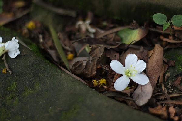 2010初遇油桐花-9.jpg