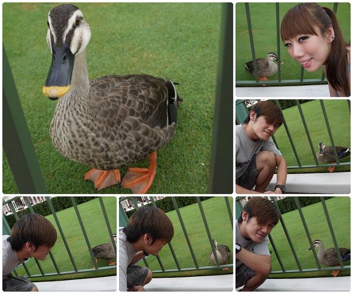 Disney Land-不怕生的鴨鴨.jpg