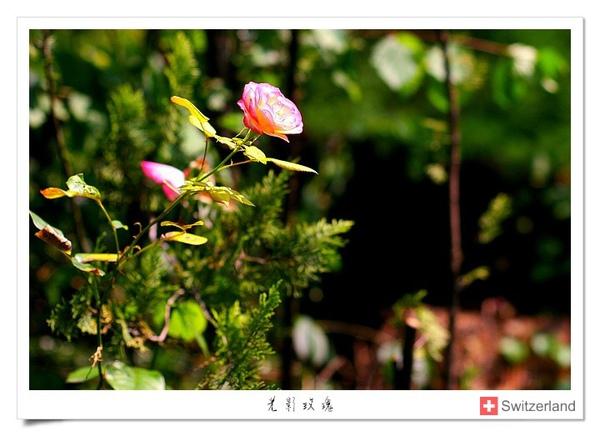 瑞士-光影玫瑰.jpg