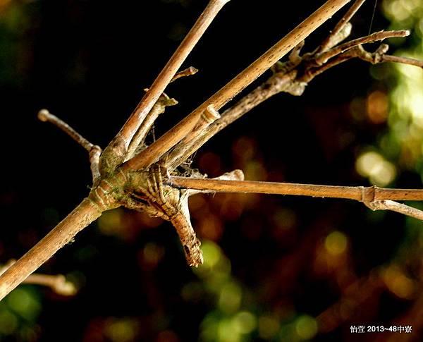 枯枝尖鼻蛛  Poltys columnaris
