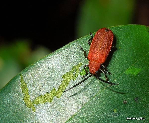 大紅薄翅螢金花蟲 Atysa brevithorax (Pic, 1928)