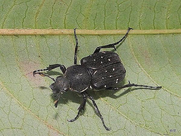 黃點虎斑花金龜Paratrichius guttatus Iwase, 1993