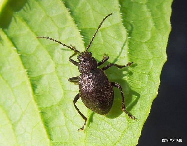毛缺翅螢金花蟲Hirtigaleruca aptera Chujo, 1962